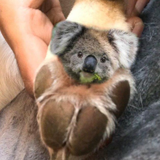 Мишки-коалы на собачьих ладошках