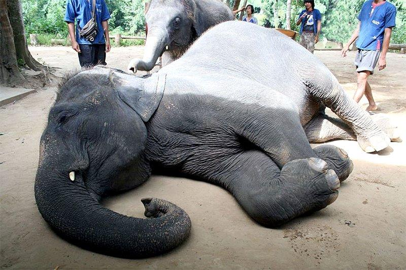 Умирающий слон