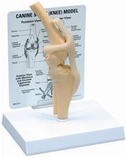 """Kruuse анатомическая модель """"Коленный сустав"""""""