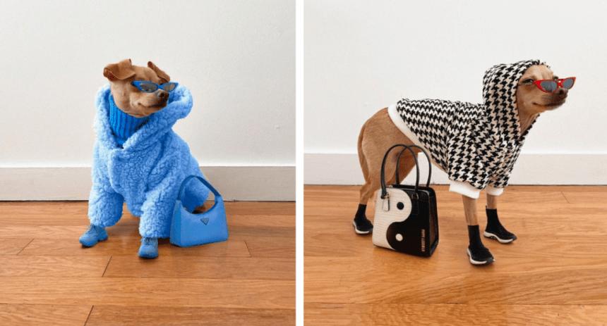 Собака-модница штурмует Интернет