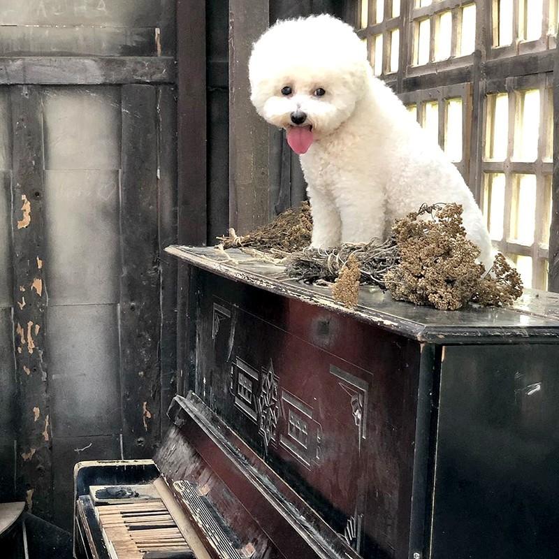 Собака пароды бишон фризе