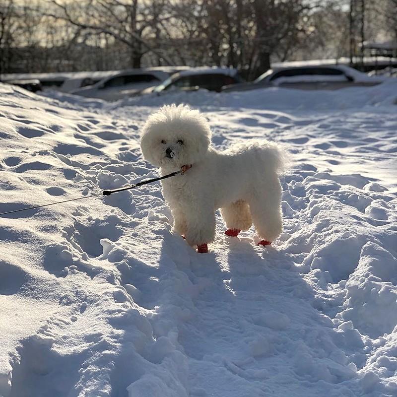 Собака пароды бишон фризе на прогулке зимой