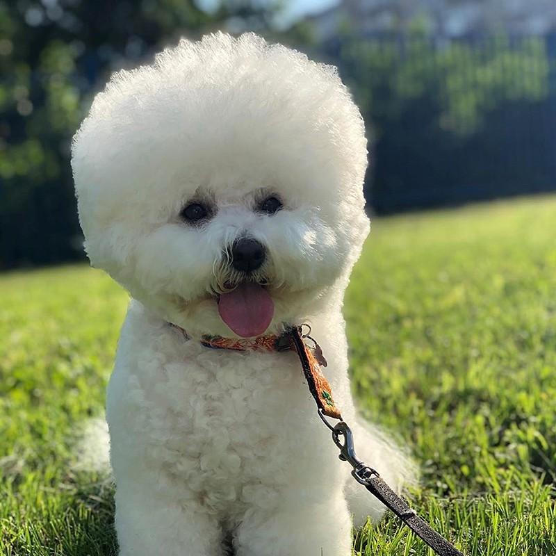 Собака пароды бишон фризе на прогулке
