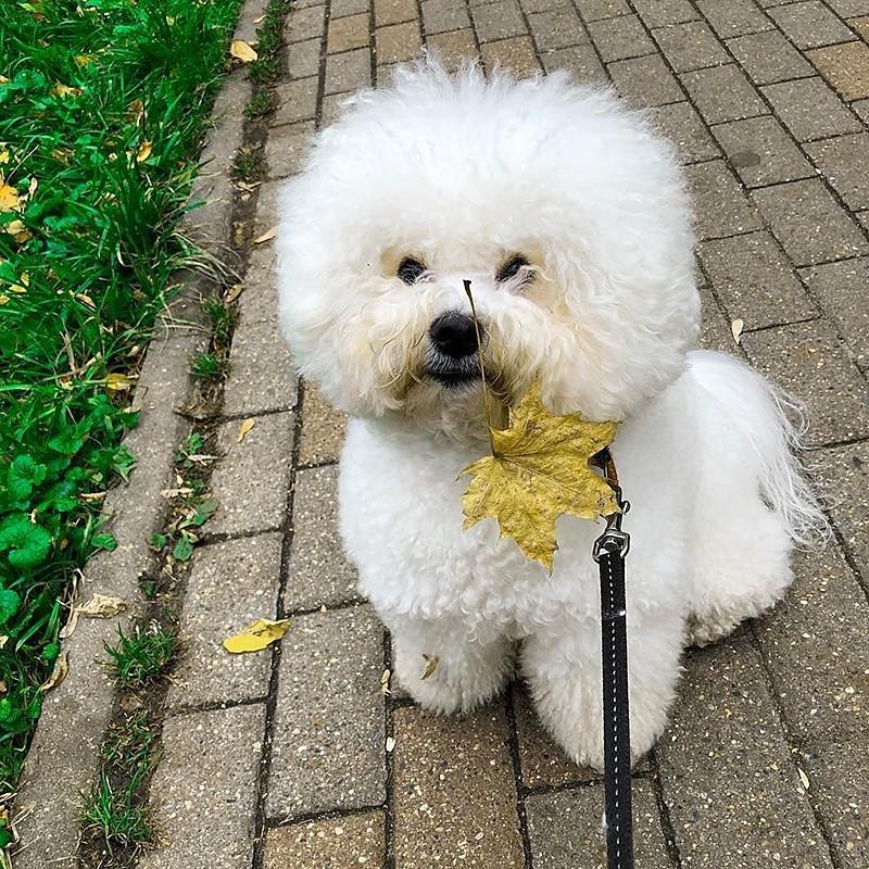 Собака пароды бишон фризе на прогулке осенью