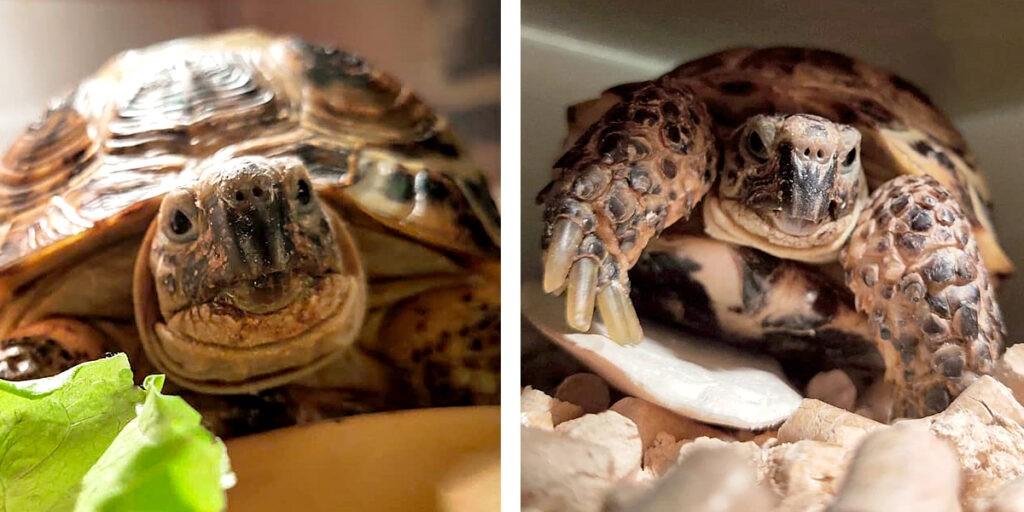 Сухопутная среднеазиатская черепаха: друг и компаньон