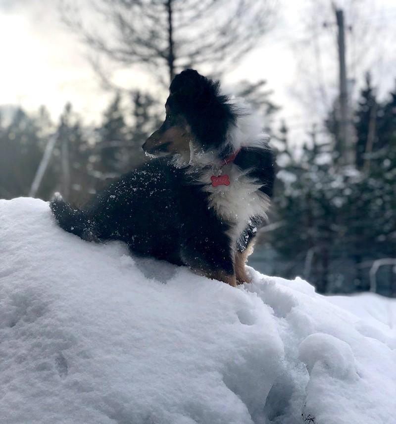 Собака породы Шелти на снежной прогулке