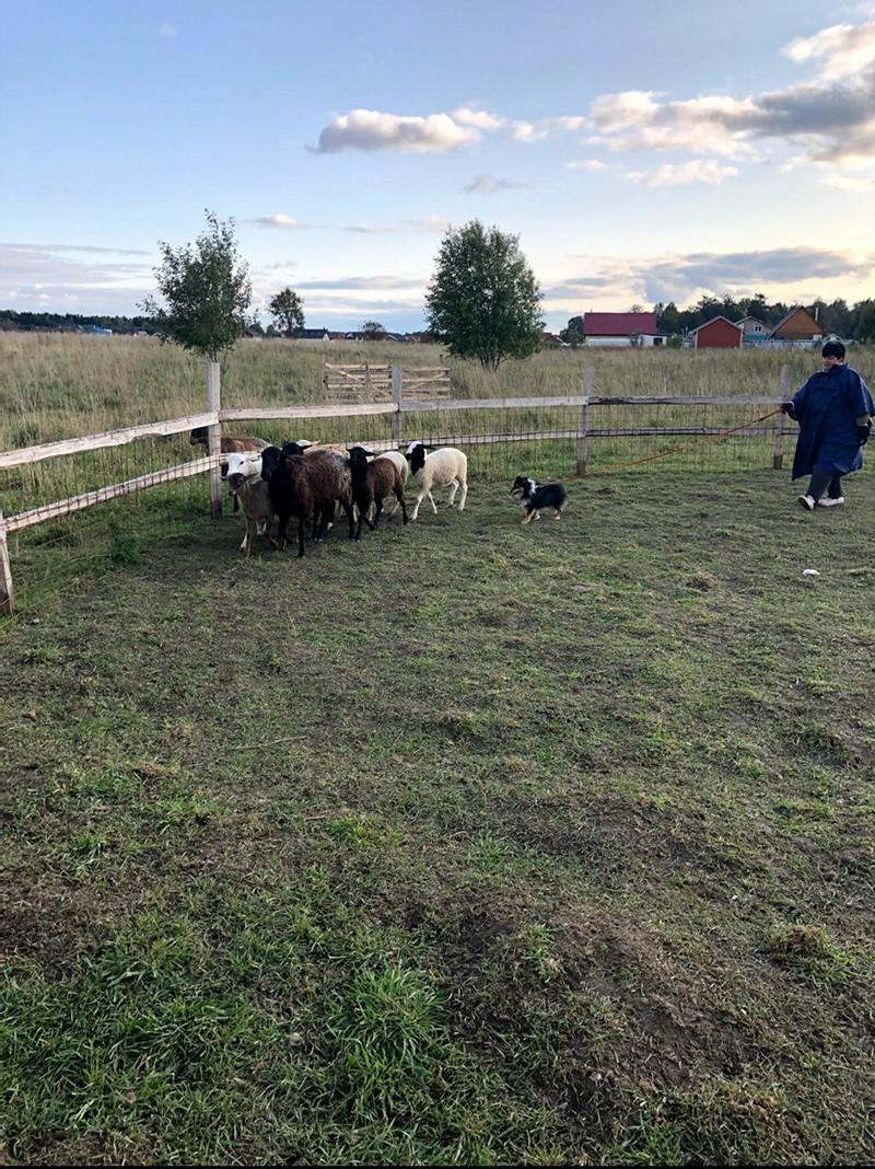 Собака породы Шелти учится пасти овец