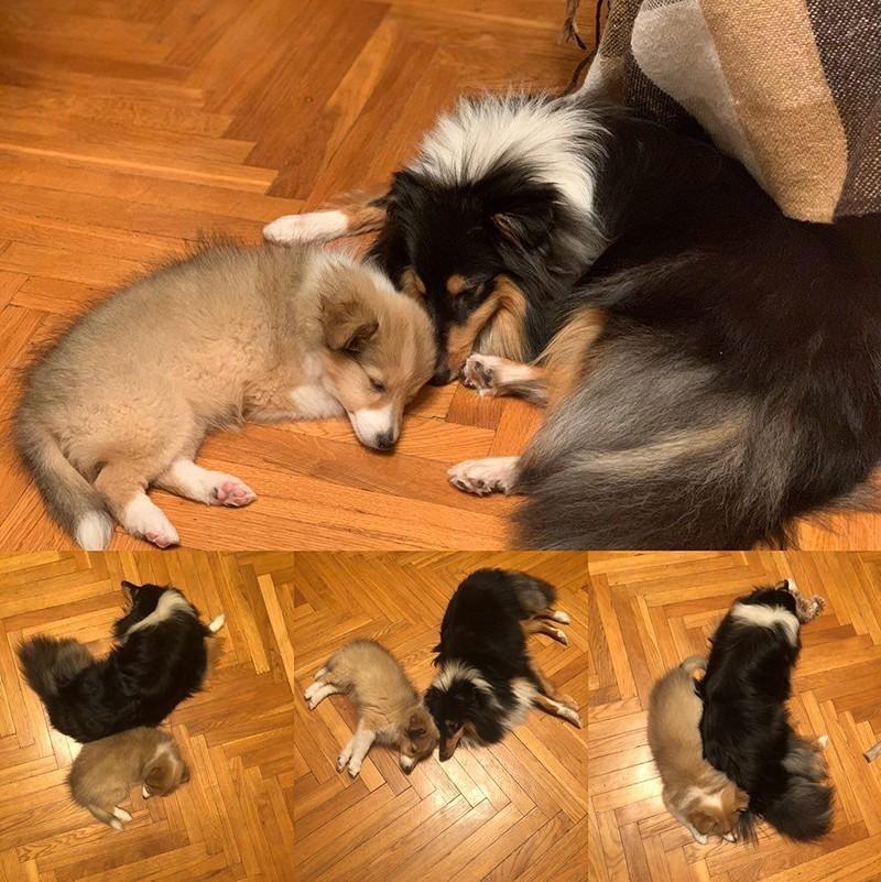Собаки породы Шелти вместе