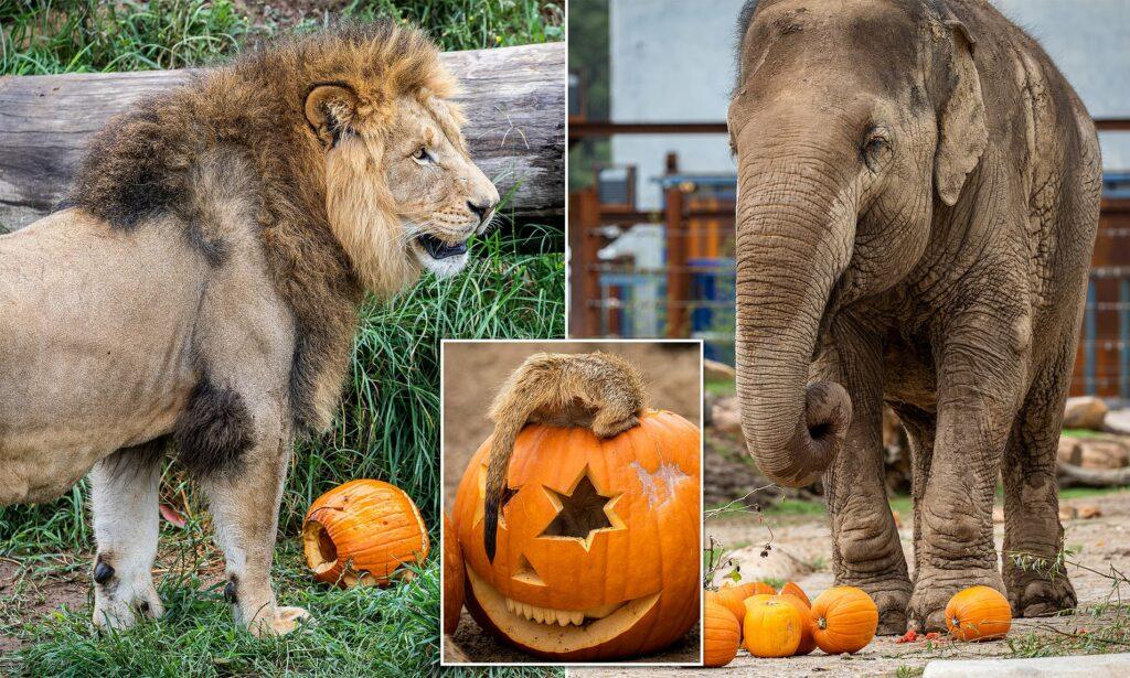На вечеринку по случаю Хэллоуина пригласили львов, слона, сурикатов и бабуинов
