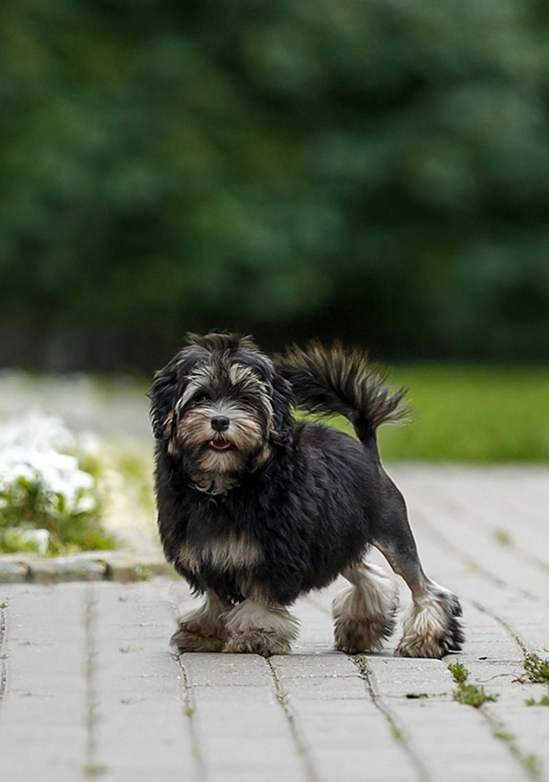 Собака породы Левхен