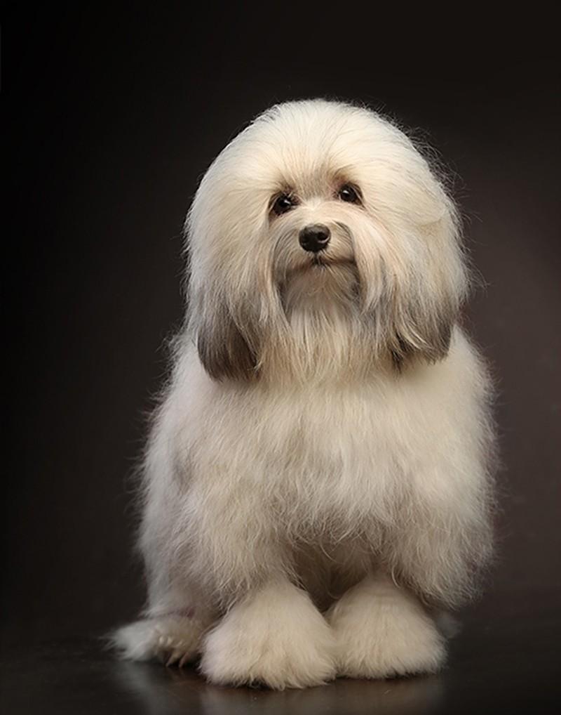 Раскошная шерсть собаки породы Левхен