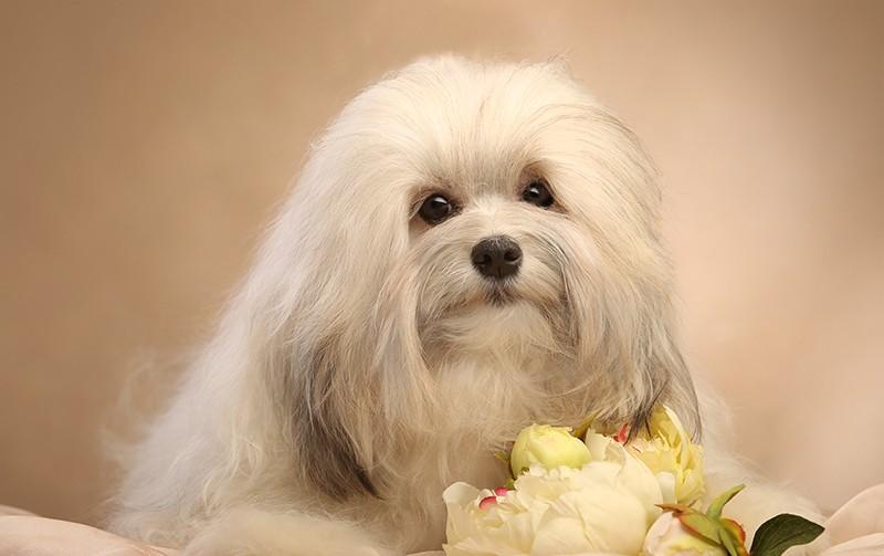 Милый взгляд собаки породы Левхен