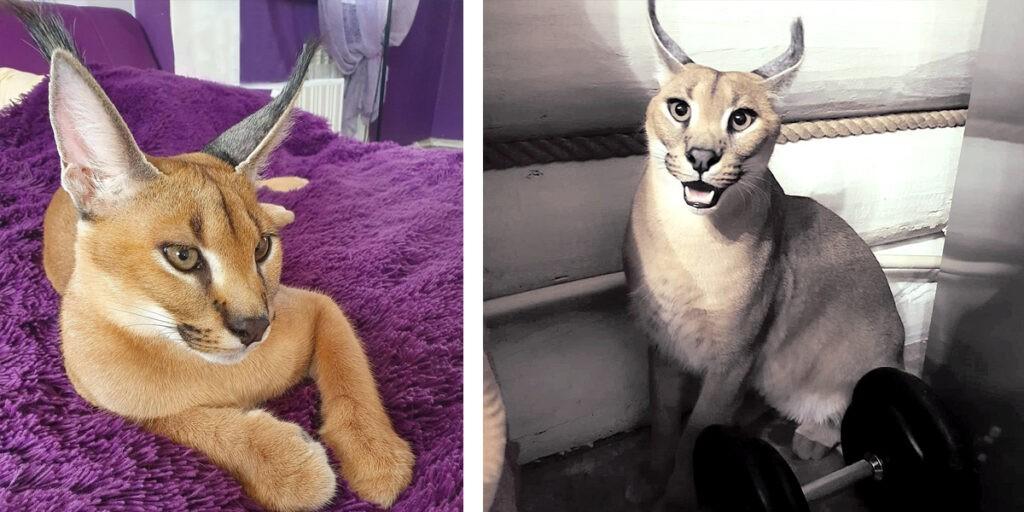 Каракал порода кошек