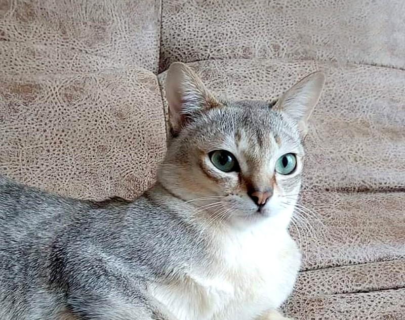 Cингапурская кошка