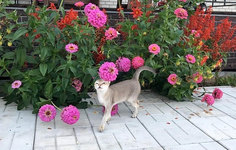 Cингапурская кошка и цветы