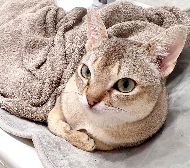 Cингапурская кошка под одеялком