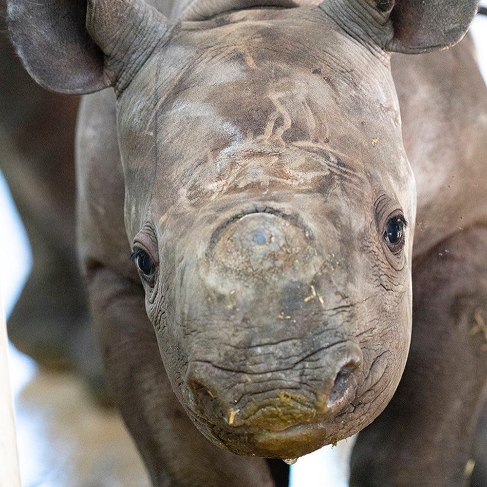 маленький черный носорог