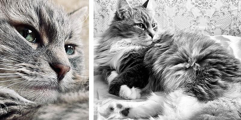 все о породе сибирская кошка