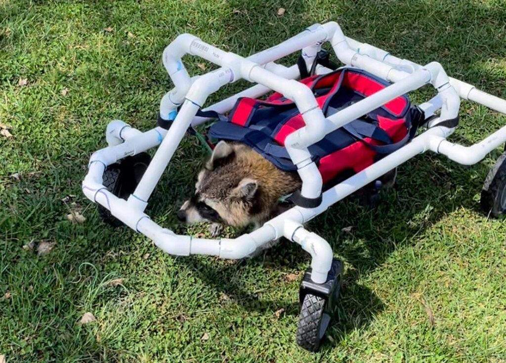 енот в инвалидной тележке
