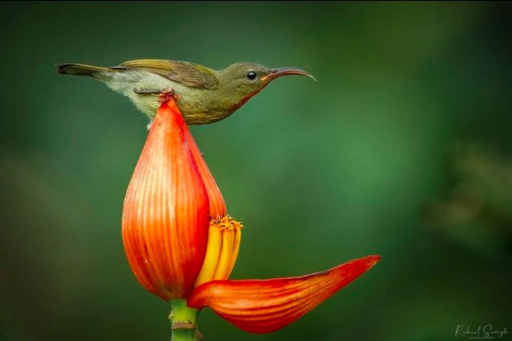 птица на цветке банана
