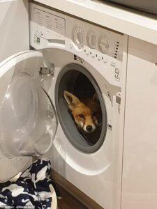 лисица в стиральной машине