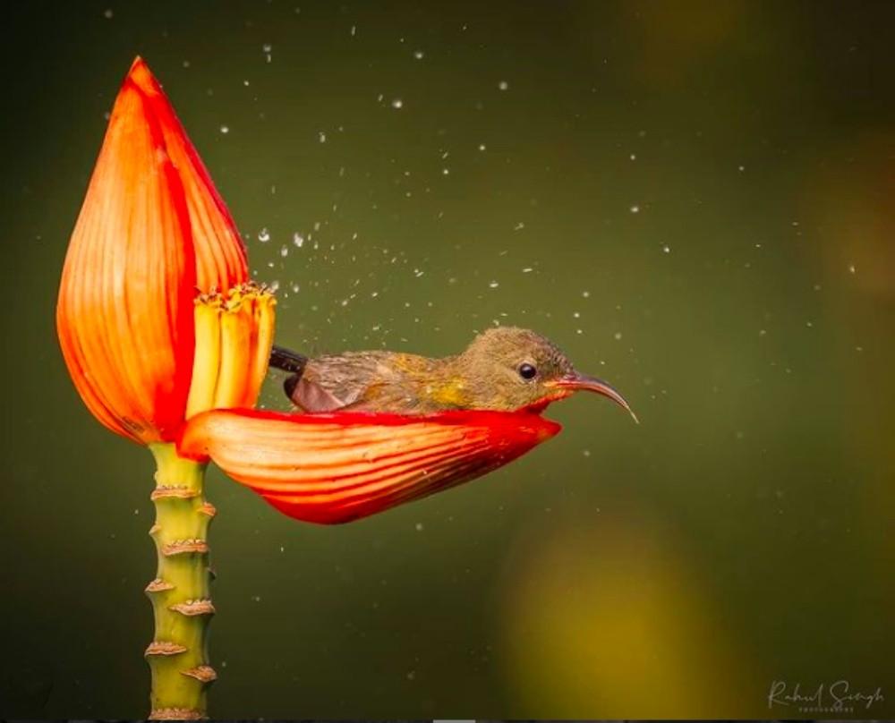 нектарница купается в лепестке