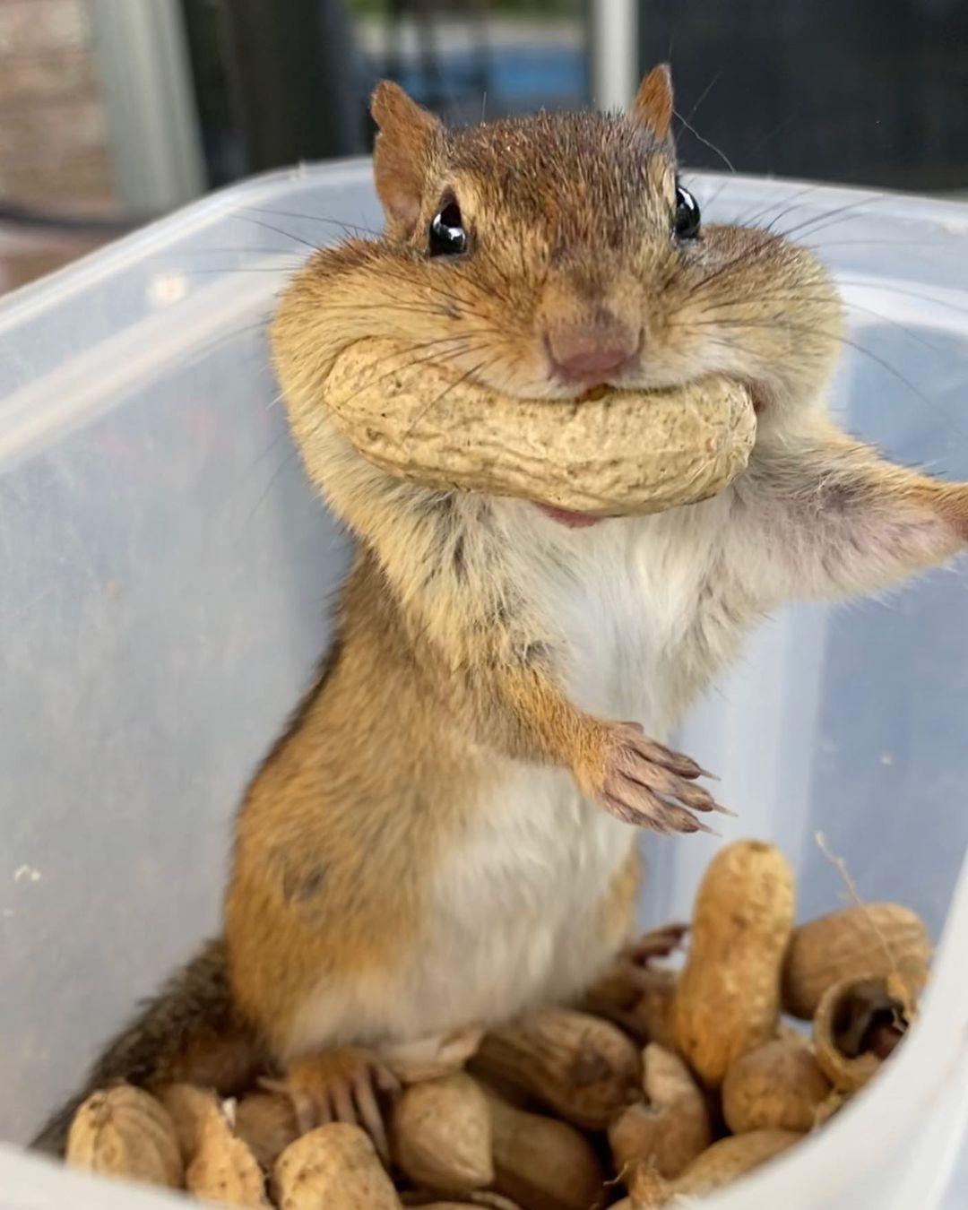 бурундук и много арахиса
