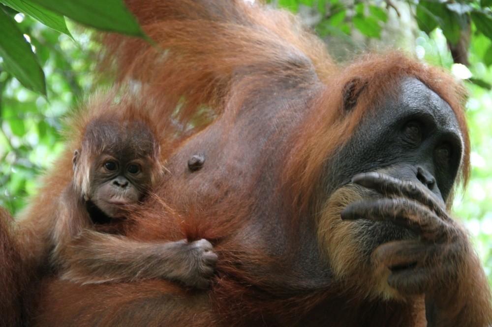 орангутанг с детенышем