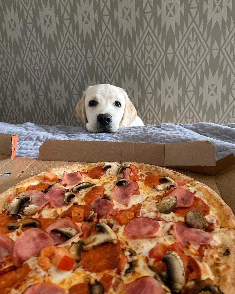 Лабрадор-ретивер - вид с пиццы.