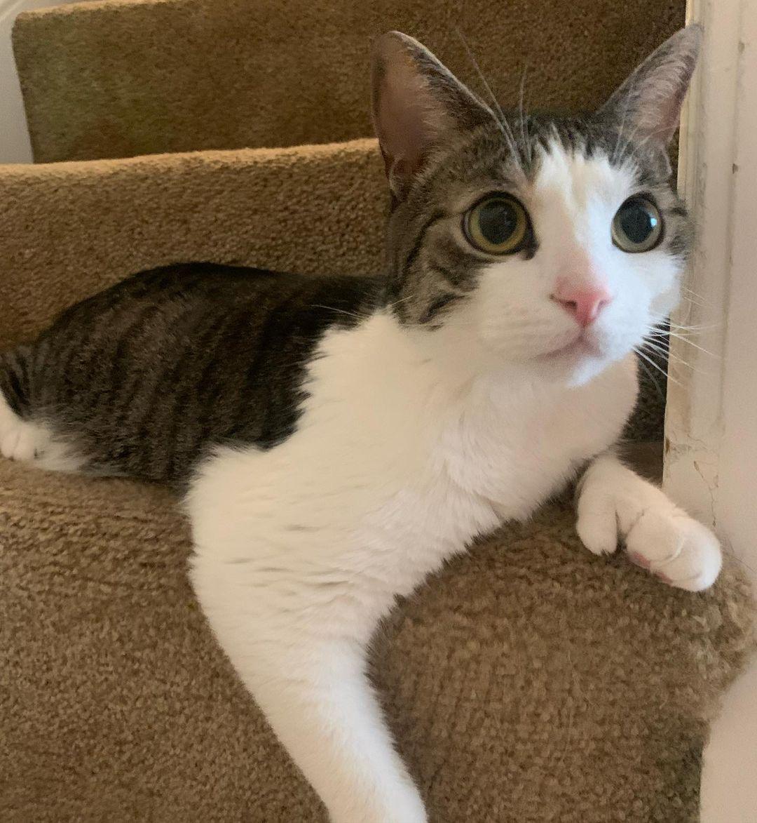 полидактильный кот