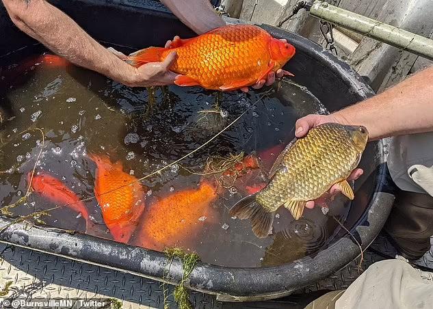 золотые рыбки величиной с карпа
