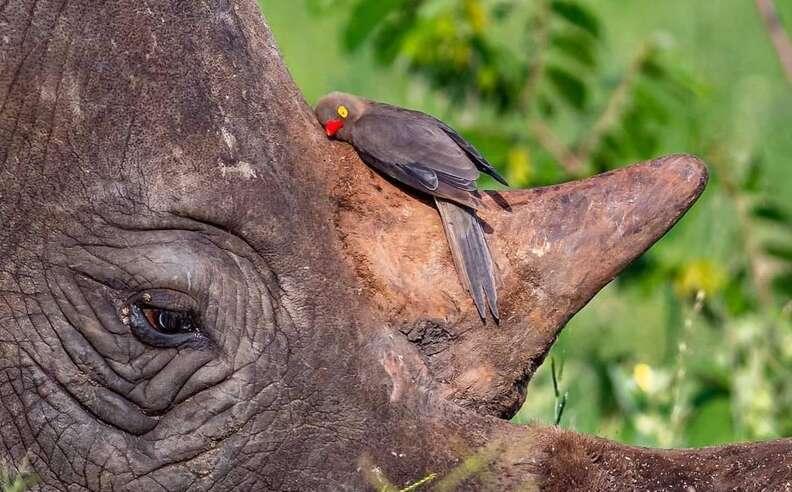 носорог и птица