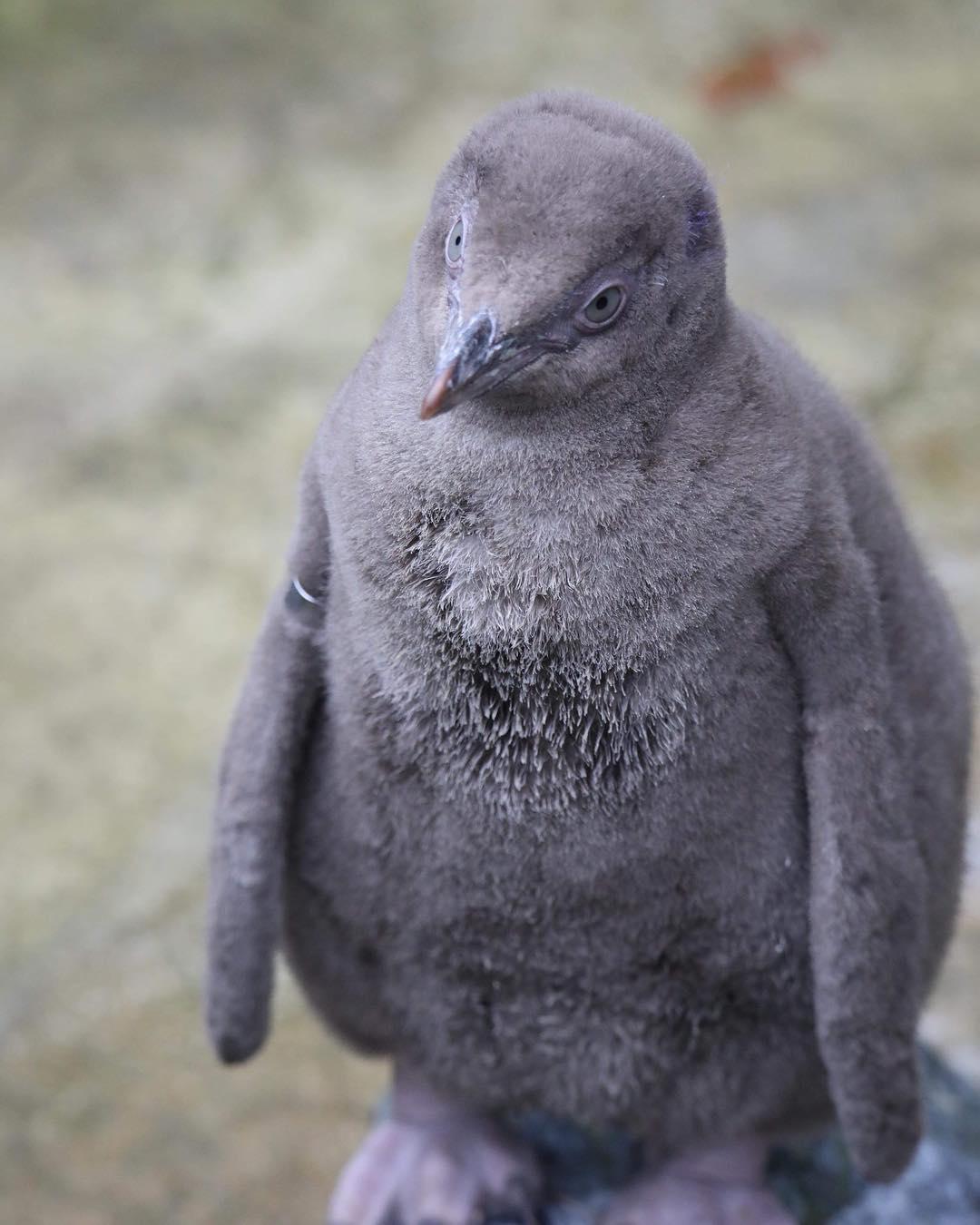 птенец пингвина