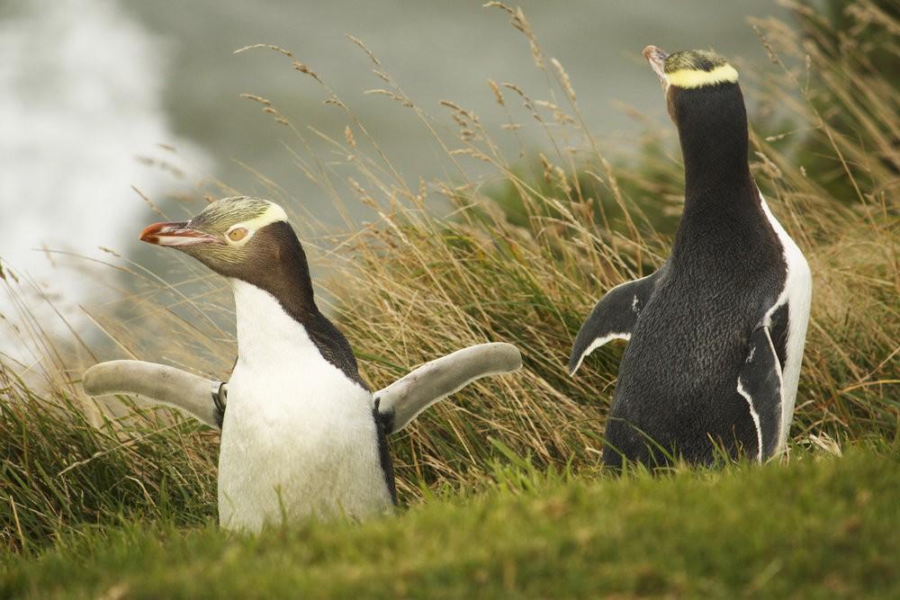 пингвины новой зеландии