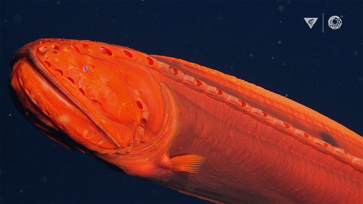оранжевый кит