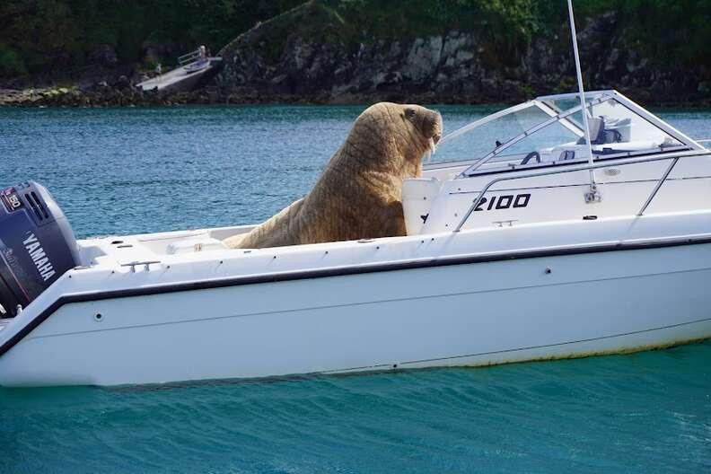 морж на лодке