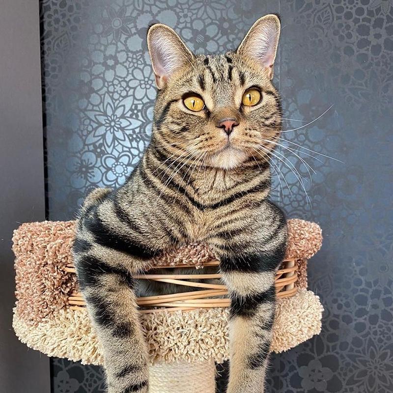 американская короткошерстная кошка отдыхает на кошачем домике