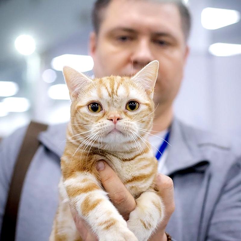 американская короткошерстная кошка на руках у хозяина