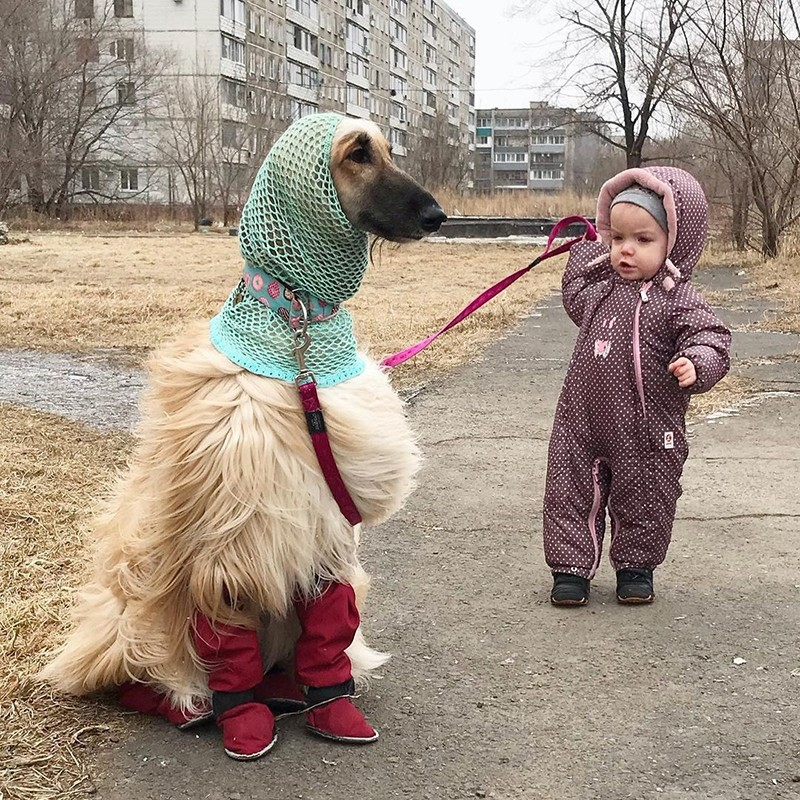 Афганская борзая с маленькой хозяйкой