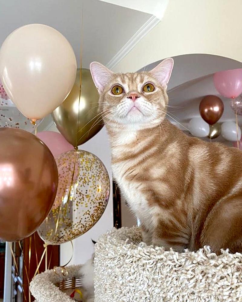 американская короткошерстная кошка среди воздушных шаров