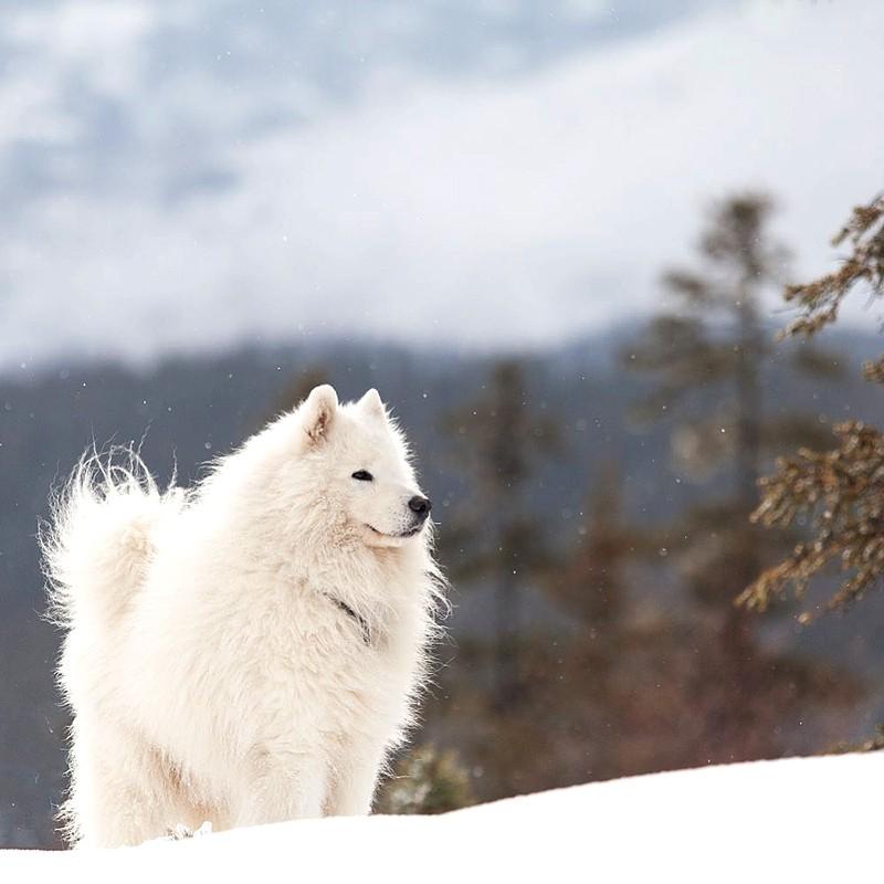 Самоедская собака на зимней прогулке