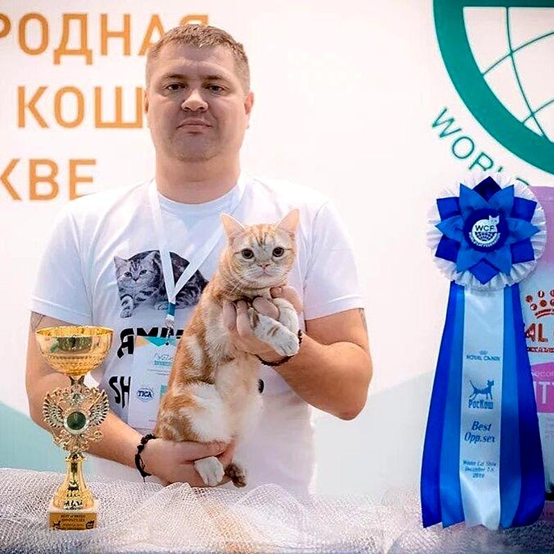 американская короткошерстная кошка получает призы на выставке