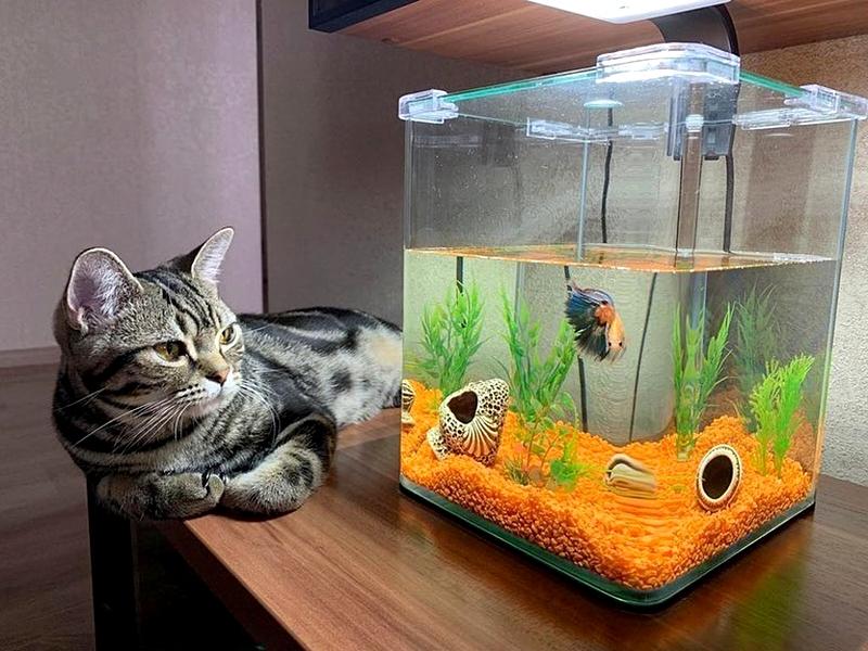 американская короткошерстная кошка и аквариумная рыбка