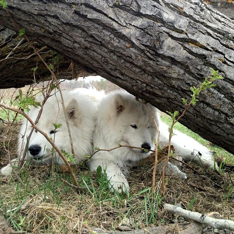 Пара Самоедских собак