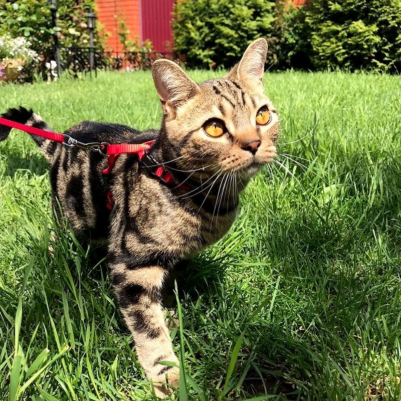 американская короткошерстная кошка гуляет на природе