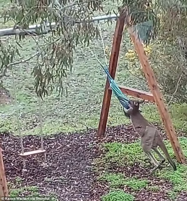 кенгуру сражается с гамаком