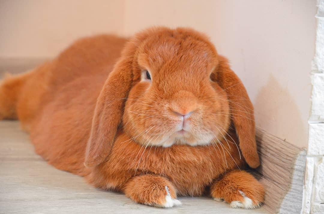 абрикосовый кролик