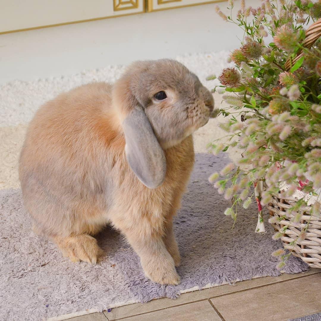 кролик фин