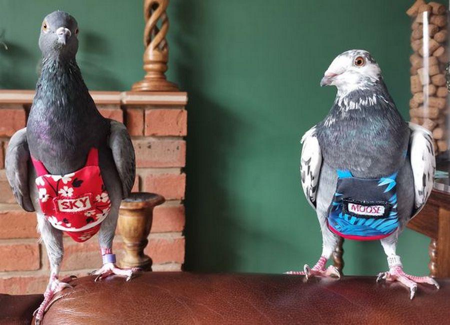 голуби в одежде