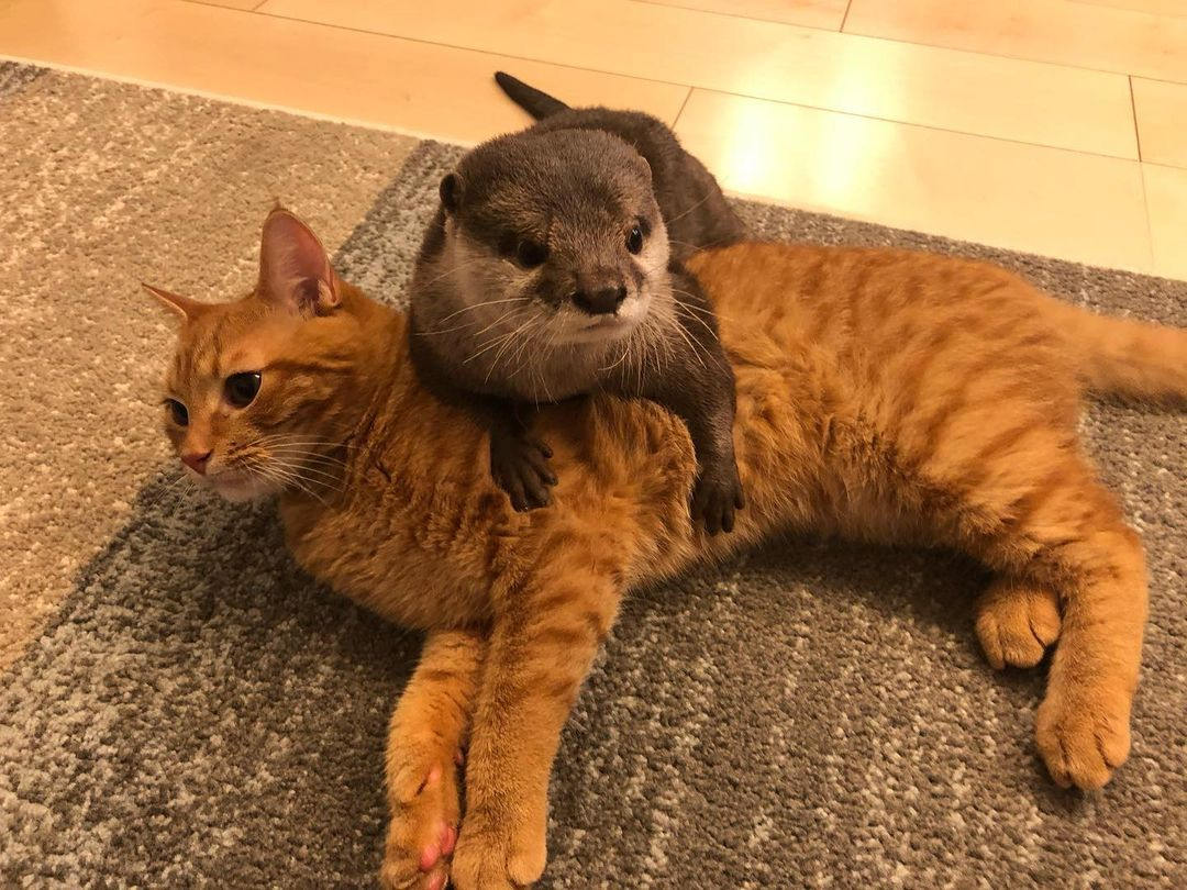 выдра и кот